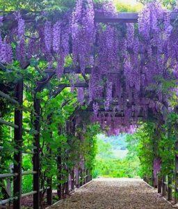 wisteria vines on pergola alley